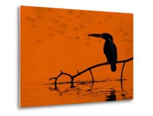 Adult Male Common Kingfisher, Alcedo Atthis, Holding a Fish at Sunset by Joe Petersburger