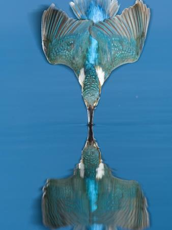 An Adult Male Common Kingfisher, Alcedo Atthis, Dives into the Water by Joe Petersburger