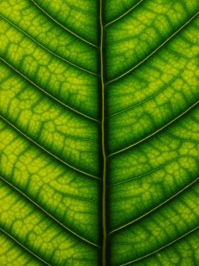 Backlit Close-up of a Fig Leaf, Ficus Species by Joe Petersburger