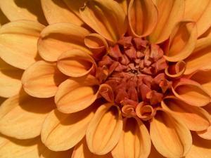Close Up of a Dahlia Flower by Joe Petersburger