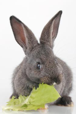 Close Up of a Domestic Rabbit Eating a Leaf of Lettuce, Lactuca Sativa by Joe Petersburger
