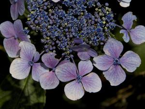 Close Up of Blue Hydrangea Flowers by Joe Petersburger