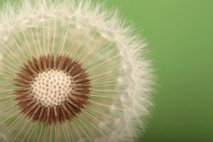 Close Up of the Seed Head of a Common Dandelion, Taraxacum Officinale by Joe Petersburger