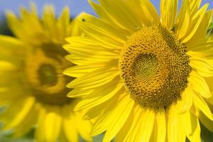 Close Up of Two Sunflowers, Helianthus Annuus by Joe Petersburger
