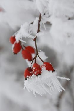 Frost on a Twig of Dog Rose by Joe Petersburger