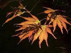 Japanese Maple Leaves, Acer Palmatum, Backlit by Joe Petersburger