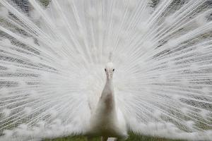 Portrait of a Leucistic Indian Peacock, Pavo Cristatus, with its Tail Feathers Spread by Joe Petersburger