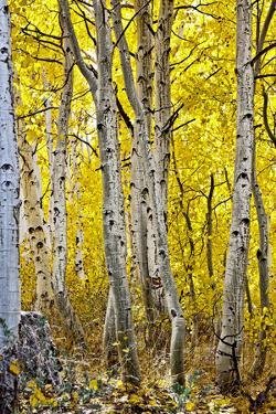 Aspen Trees Along Hwy 395/Conway Pass, California, USA by Joe Restuccia III