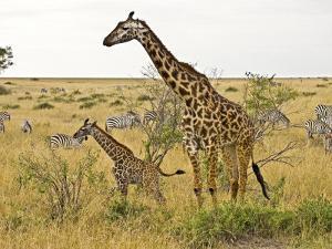 Maasai Giraffes Roaming, Maasai Mara, Kenya by Joe Restuccia III