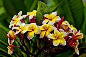 Plumeria Plant in Placencia, Belize. by Joe Restuccia III