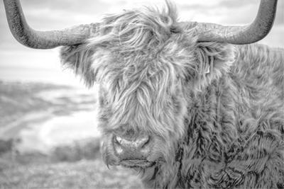 Highland Cows III by Joe Reynolds