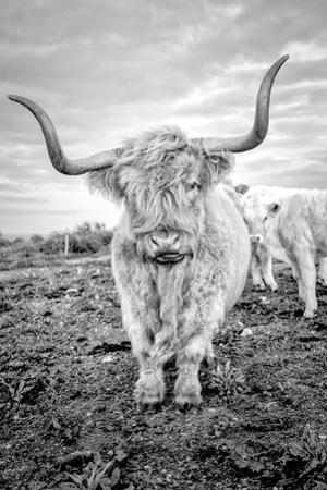 Highland Cows V by Joe Reynolds