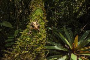 A Black Eyed Tree Frog in the Pakaraima Mountains of Guyana by Joe Riis