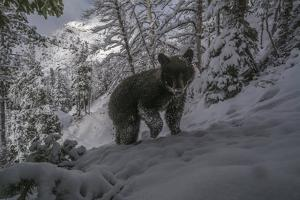 A Camera Trap Captures a Bear at Eagle Pass in Yellowstone National Park by Joe Riis