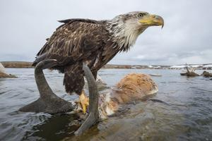 A Remote Camera Captures an Eagle Perching on Top of a Drowned Pronghorn by Joe Riis
