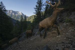 A Remote Camera Captures Elk During Migration In Wyoming by Joe Riis