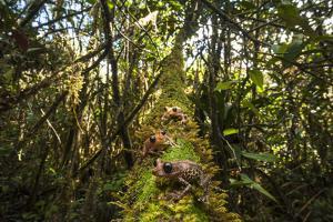 Black Eyed Tree Frogs in the Pakaraima Mountains of Guyana by Joe Riis