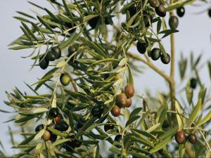 Close View of Olive Tree Branches by Joe Scherschel