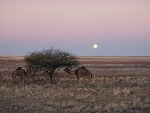 The Moon Rises over Two Camels Tied to a Low Tree by Joe Scherschel