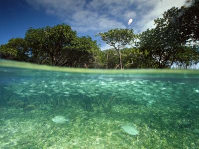 Aquatic Split-Level View with Fish and Mangroves, Australia