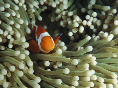 Clown Anemonefish in Sea Anemone, Pacific Ocean