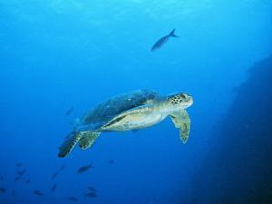 Green Sea Turtle, off Sipadan Island, East Malaysia by Joe Stancampiano