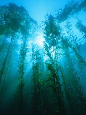 Kelp Forest Underwater, Tasmania, Australia by Joe Stancampiano