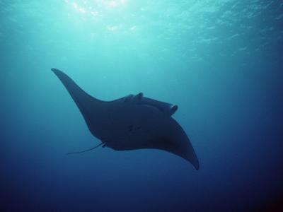 Manta Ray, Yap Islands, Caroline Islands, Micronesia