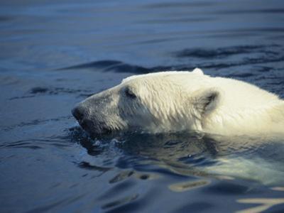 Polar Bear, Wager Bay, Northwest Territories, Canada