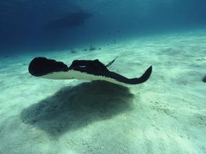 Stingray, Cayman Islands, West Indies by Joe Stancampiano