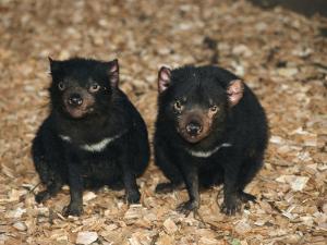 Tasmanian Devils, Tasmania, Australia by Joe Stancampiano