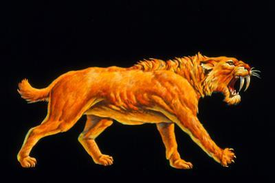 Artwork of a Sabre-toothed Cat (Smilodon Sp.)