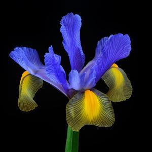 Iris by Joel Joubinaux