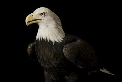 A Bald Eagle Haliaeetus Leucocephalus, at the George M. Sutton Avian Research Center. by Joel Sartore