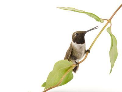 A Black-Chinned Hummingbird, Archilochus Alexandri by Joel Sartore