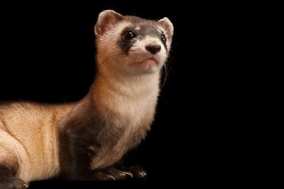 A black-footed ferret, Mustela nigripes, at the Cheyenne Mountain Zoo. by Joel Sartore