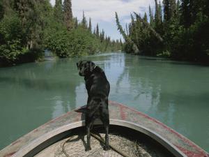 A Black Labrador Dog Travels up the Kenai River on a Boats Bow by Joel Sartore