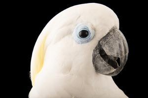 A blue eyed cockatoo, Cacatua ophthalmica, at the Jurong Bird Park. by Joel Sartore