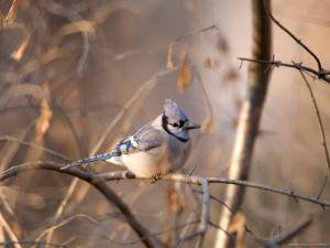 A Blue Jay (Cyanocitta Cristata) Sits in a Tangle of Tree Branches by Joel Sartore