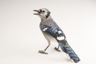 A Blue Jay, Cyanocitta Cristata. by Joel Sartore
