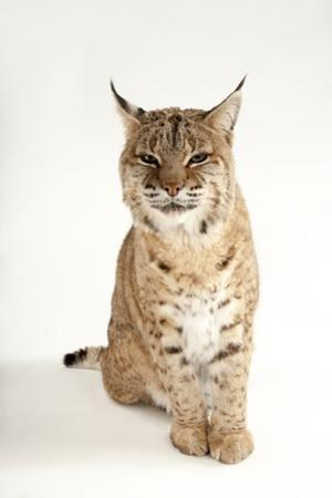 A Bobcat, Lynx Rufus, at the Miller Park Zoo by Joel Sartore