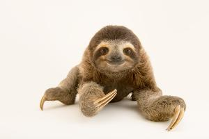 A brown throated three toed sloth at the PanAmerican Conservation Association. by Joel Sartore