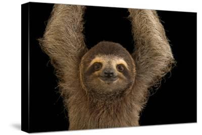 A Brown Throated Three Toed Sloth, Bradypus Variegatus. by Joel Sartore