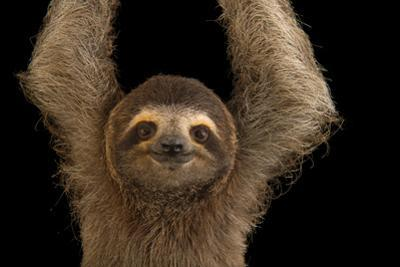 A Brown Throated Three Toed Sloth, Bradypus Variegatus. by Joel Sartore
