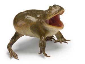 A Budgett's frog by Joel Sartore