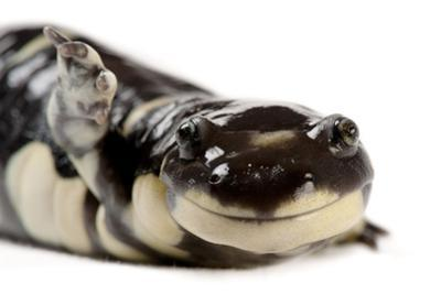 A California tiger salamander, Ambystoma californiense, at the Fresno Chaffee Zoo. by Joel Sartore