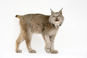 A Canada lynx, Lynx canadensis, at the Point Defiance Zoo. by Joel Sartore