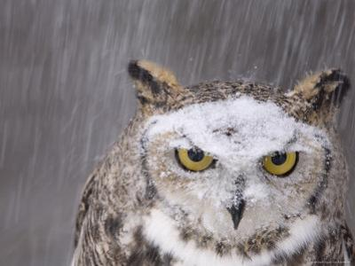 A Captive Great Horned Owl at a Recovery Center by Joel Sartore