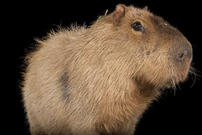 A Capybara, Hydrochoerus Hydrochaeris, at the Rolling Hills Zoo. by Joel Sartore