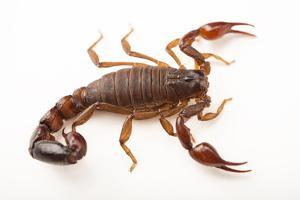 A Chilean brown pygmy scorpion at the Loveland Living Planet Aquarium. by Joel Sartore